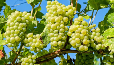 Let's Understand: Grape Storage